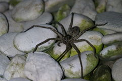 Large spider on rocks Royalty Free Stock Images