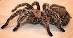 Large Spider. Side view of a large rose hair female tarantula Royalty Free Stock Images