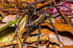 A large spider walking on the ground inside of the forest in Cuyabeno National Park, in Ecuador Royalty Free Stock Image