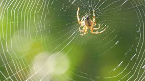 A large spider weaves a web on a tree in the summer. Web weaving on a background of green foliage of trees. Big. Beautiful round web macro close up view stock video footage