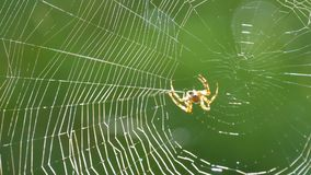 A large spider weaves a web on a tree in the summer. Web weaving on a background of green foliage of trees. Big. Beautiful round web macro close up view stock footage