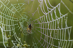 Large spider in the web Stock Images