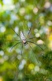 Large spider on web. (Nephila maculata/nephila pilipes Stock Photo