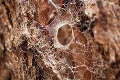 Large Spider Web. Spun around tree trunk and bark Stock Image