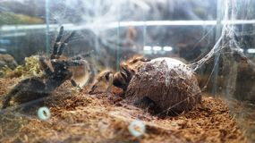 Large spiders tarantulas in the terrarium: cobwebs and nets royalty free stock photo