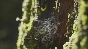 Large spiderweb , on a tree, on morning dew, with natural background, very solid cobweb.  stock video