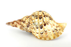 Large spiral shell back view. Isolated on white Stock Image
