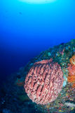 Large sponge on a tropical coral reef wall Royalty Free Stock Images