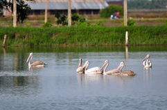 Large spot-billed pelican Royalty Free Stock Image