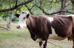 Large spotted cow. Walking her in the apple orchard royalty free stock images