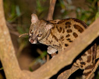 Large-Spotted Genet. The Large-spotted Genet (Genetta tigrina) is an extremely shy nocturnal hunter which is very difficult to observe, Shimba Hills nature Stock Photos