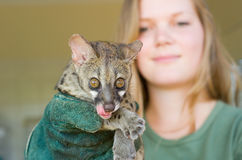 Large spotted genet is is held by AFS volunteer stock images