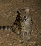 Large Spotted Genet Royalty Free Stock Photo