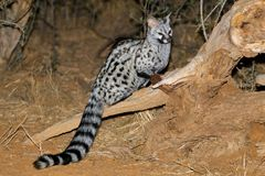 Large-spotted genet in natural habitat Stock Image