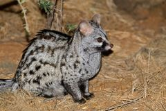 Large-spotted genet in natural habitat Stock Images