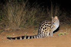 Large-spotted genet in natural habitat stock photography