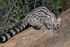 Large-spotted genet in natural habitat, South Africa Stock Images