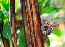Large Spotted Owl Butterfly perched on the edge of a thick plant stem with a natural forest background. Large Owl Butterfly perched on the edge of a plant stem Royalty Free Stock Image