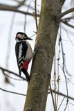 Large spotted woodpecker Dendrocopus major, Aves. Large spotted woodpecker looking for food under the bark of a thick branch in winter stock image