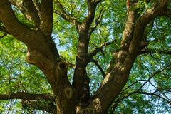 Large sprawling crown of ash in the city park. royalty free stock images