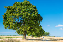 Large spreading tree growing in field Royalty Free Stock Images