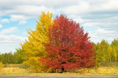 Large spreading yellow and red color bright trees in picturesque autumn valley, against a background of blue sky with sparse cloud. S. Day`s landscape in stock photos