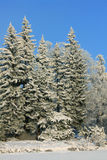 Large spruces in winter Royalty Free Stock Image
