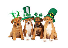 Large St Patricks Day Dog. Adorable eight week old mixed Shepherd breed puppy dogs wearing St Patrick's Day hats stock images