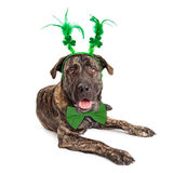 Large St Patricks Day Dog. Funny large dog wearing St. Patrick's Day clover and feather head band stock photo
