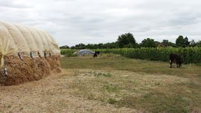 Large stack of hay or straw covered with polythene dries under the open sky. A form for farm animals for the winter. A large stack of hay or straw covered with stock footage