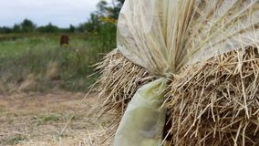 Large stack of hay or straw covered with polythene dries under the open sky. A form for farm animals for the winter. A large stack of hay or straw covered with stock video footage