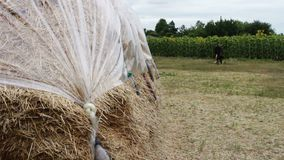 Large stack of hay or straw covered with polythene dries under the open sky. A form for farm animals for the winter. A large stack of hay or straw covered with stock video