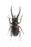 Large stag beetle Royalty Free Stock Images