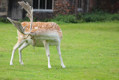 Large stag grooming with full antlers Royalty Free Stock Photo