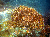 Large Staghorn Coral at Great Barrier Reef Royalty Free Stock Images