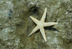 Large starfish with five toes on the rock of the sea in summer Stock Photo