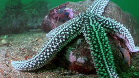 Large starfish on sea bottom in search of food. Amazing multi color underwater world and the inhabitants, fish, stars, octopuses and vegetation of the Sea of stock video