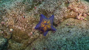 Large starfish on sea bottom in search of food. Amazing multi color underwater world and the inhabitants, fish, stars, octopuses and vegetation of the Sea of stock video footage