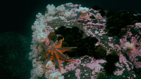 Large starfish on sea bottom in search of food. Amazing multi color underwater world and the inhabitants, fish, stars, octopuses and vegetation of the Sea of stock footage