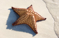 Large starfish on the shore. Large starfish resting at the waters edge Royalty Free Stock Photos