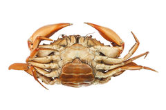 Large steamed crab cooked in red on a white background. Royalty Free Stock Images