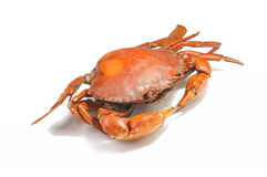 Large steamed crab cooked in red on a white background. Stock Photos