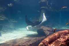Large Stingray in Aquarium Stock Photography