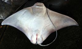 Large Stingray for Sale Stock Images
