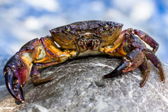 Large Stone crab goes to the water on the coastal Stock Photography