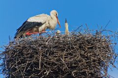 Mother stork feeding babies. In a large stork nest a mother feeds it`s babies royalty free stock images