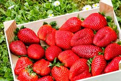 Large strawberries in wooden box Stock Image