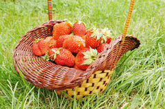 Large strawberry in a basket Royalty Free Stock Photo