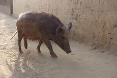A Large Street Swine Royalty Free Stock Photos