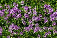 A Large Stretch of Beautiful Purple Flowering Water Hyacinth Royalty Free Stock Photography